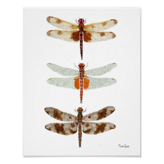 3 Dragonfly Species Posters