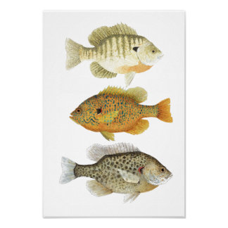 3 estudios de la acuarela del Sunfish Póster