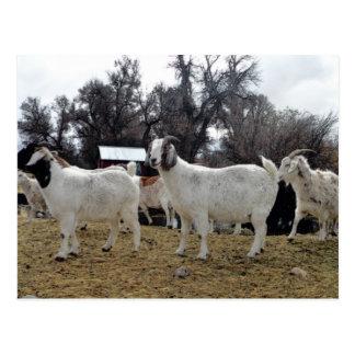 3 Goats Post Card