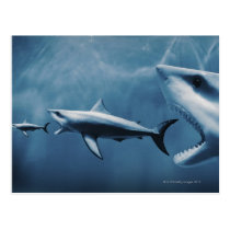 3 Great white sharks (Carcharodon carcharias) Postcard