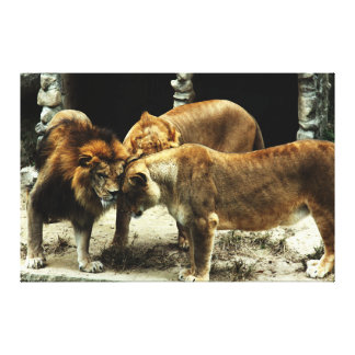 3 leones que empujan sus cabezas juntas impresión en lienzo