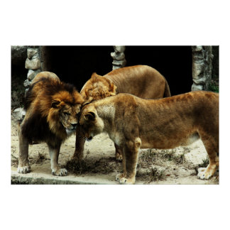 3 Lions Pushing their Heads Together Poster