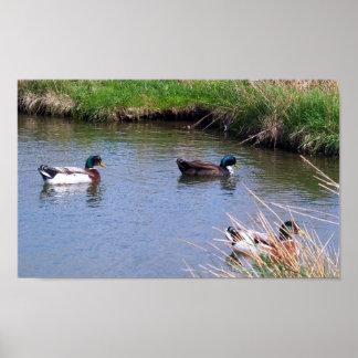 3 Male Mallard Ducks Poster