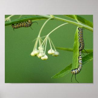 3 monarch caterpillars on milkweed poster