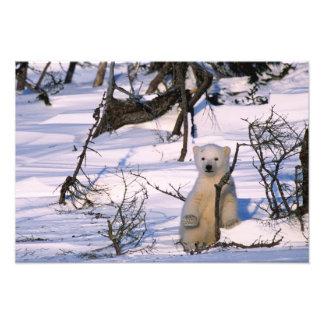 3 month old polar bearcoy) standing at scrub photograph