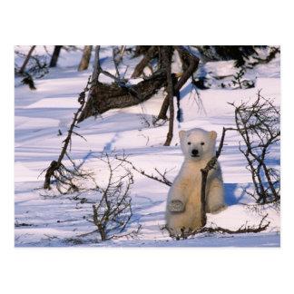 3 month old polar bearcoy) standing at scrub postcard