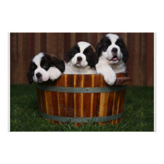 3 perritos adorables de St Bernard en un barril Impresiones