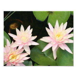 3 pink water lilies photo print