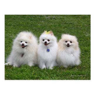 3 Pomeranians Sitting Postcard