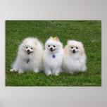 3 Pomeranians Sitting Posters