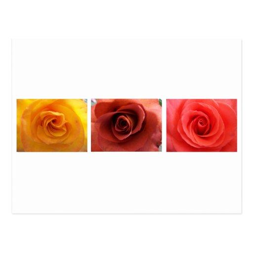 3 Roses Postcards