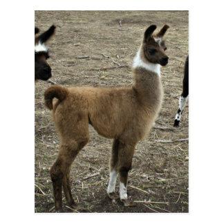 3 stooges, Llama style Postcard