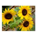 3 Sunflowers Postcards