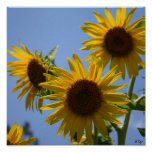 3 Sunflowers Poster, S Cyr