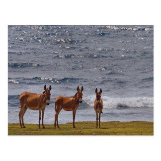 3 Wild Donkeys by the Sea Postcards