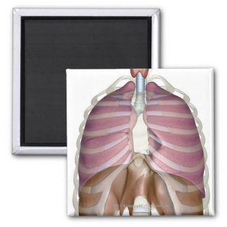 3d rendering of the respiratory system magnet