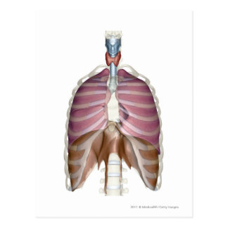 3d rendering of the respiratory system postcard