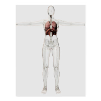 3D View Of The Female Respiratory System Postcard