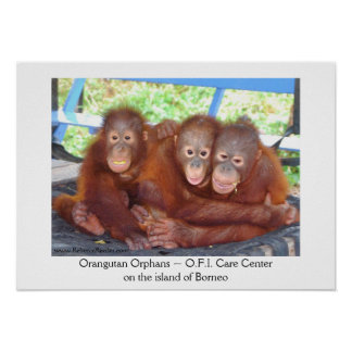 3's Not a Crowd - Orangutan Babies Poster