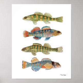 4 especies comunes del Darter Poster