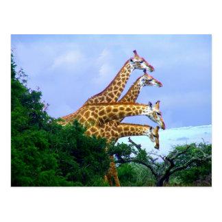 4 giraffe postcard