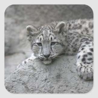 4 month old Snow leopard cub draped over a rock Square Stickers