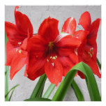 4 Red Lions Amaryllis 24x24 Poster or Framed Print