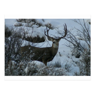 4X4 Mule deer Postcard