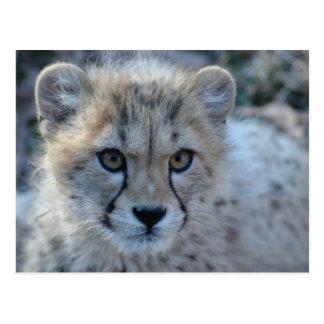 4x6 cheetah post card