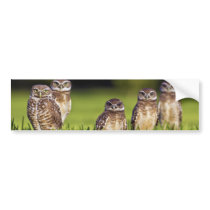 5 Burrowing Owls Athene Cunicularia Bumper Sticker