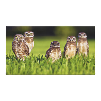 5 Burrowing Owls Athene Cunicularia Canvas Print