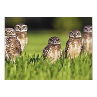 5 Burrowing Owls Athene Cunicularia 5x7 Paper Invitation Card