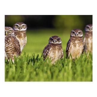 5 Burrowing Owls Athene Cunicularia Postcard