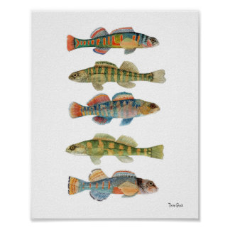5 Freshwater Darters Poster