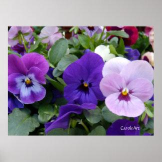 5 Purple Lavender Blue Pansies Poster