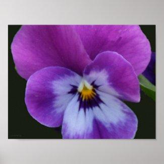 5a Lavender Purple Blue Pansy Print
