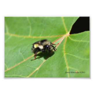5X7 Bee Sunning on a Leaf Photographic Print