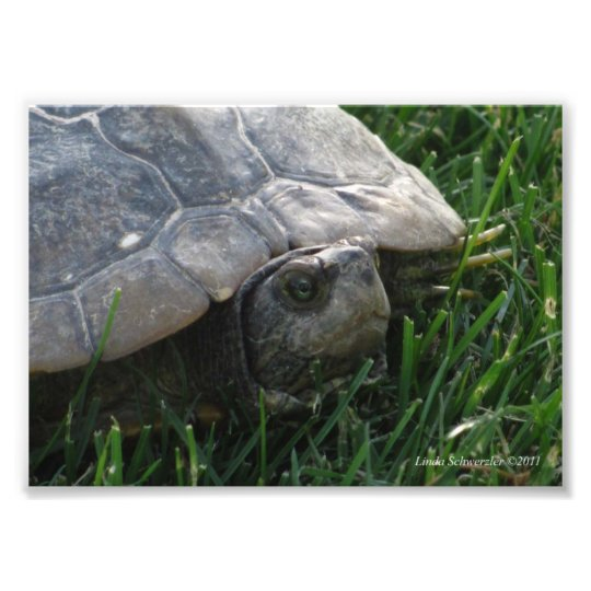 5X7 Turtle - The Old Wise One Photo Print