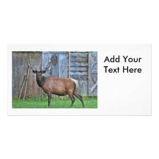 6 Point Bull Elk Photo Card