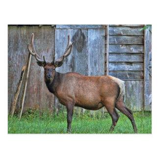 6 Point Bull Elk Photo Postcard