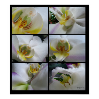 6 White Orchids Phalaenopsis Poster Prints