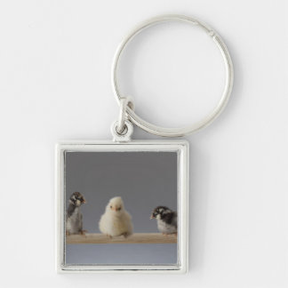 7 Baby Pet Chickens on a Perch Key Chains