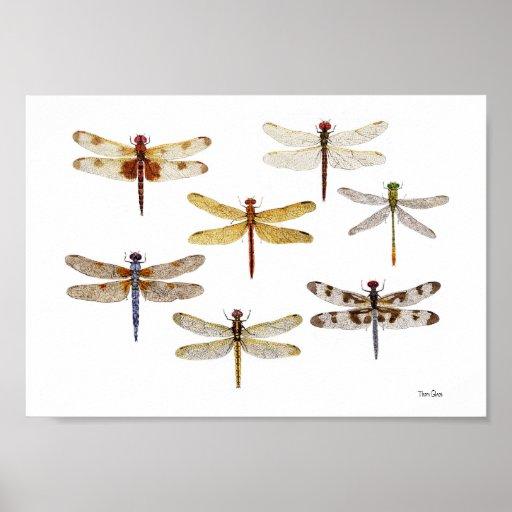 7 Species of Dragonflies Poster