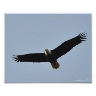 8X10 Bald Eagle Soaring at Leadbetter Point, WA Photo Print