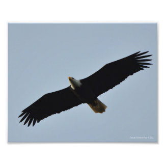 8X10 Bald Eagle Soaring on Longbeach, WA Photo Print