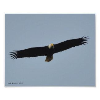 8X10 Bald Eagle Soaring Photo Print