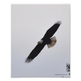 8X10 Bald Eagle Soaring! Photo Art