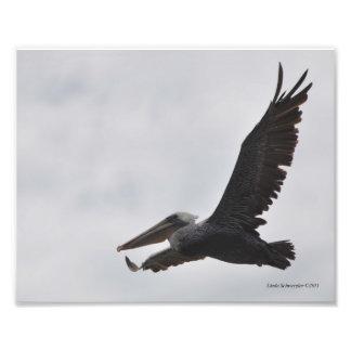 8X10 Brown Pelican Soaring Photo Print