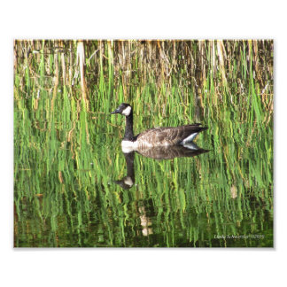 8X10 Canadian Goose Reflection Photo