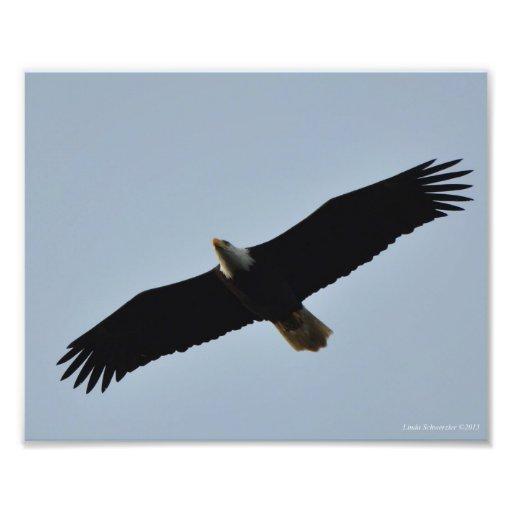8X10 Eagle calvo que se eleva en Long Beach, WA Foto